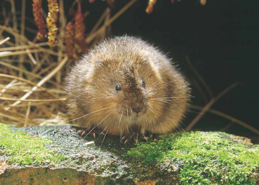Water-Vole-credit-Frank-Greenaway