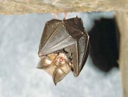 Lesser horseshoe bat roosting © Frank Greenaway