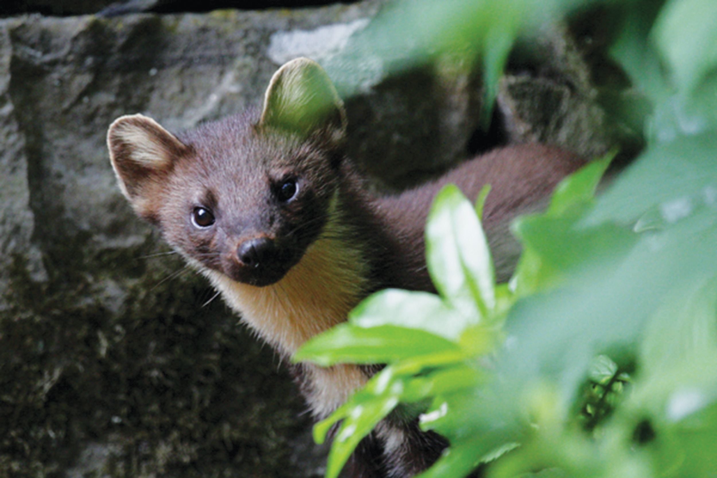 Pine marten-Credit Bill Cuthbert