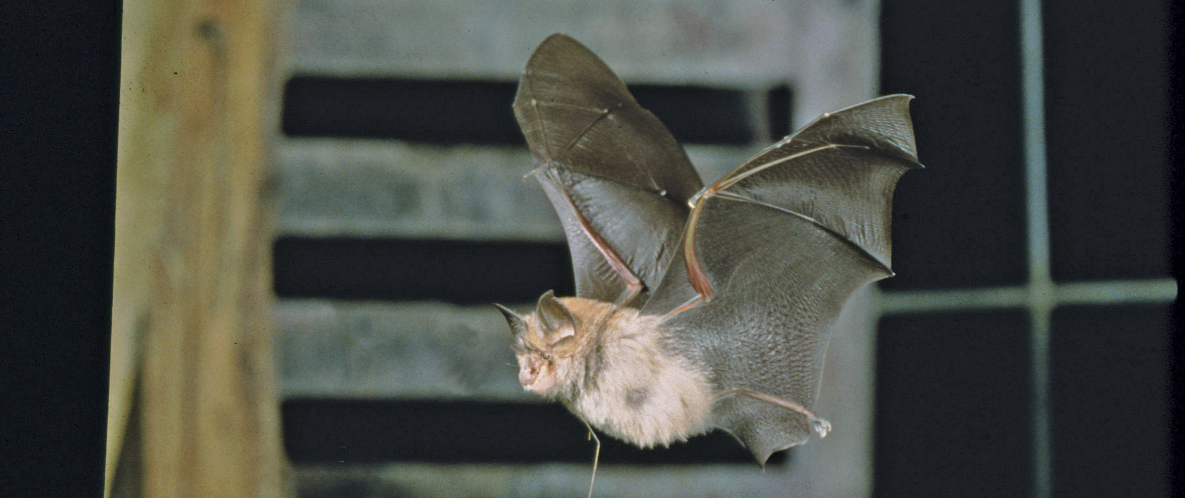 In Britain The Lesser Horseshoe Bat Rhinolophus Hipposideros Is Now Restricted To Wales West Midlands And South England