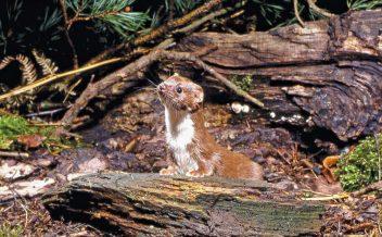 Weasel credit Frank Greenaway The Vincent Wildlife Trust