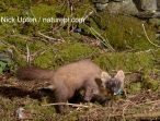 One of the female pine martens in Wales                 © Nick Upton / naturepl.com