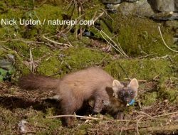 One of the female pine martens translocated to Wales © Nick Upton / naturepl.com