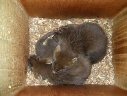 Pine marten kits in a den box