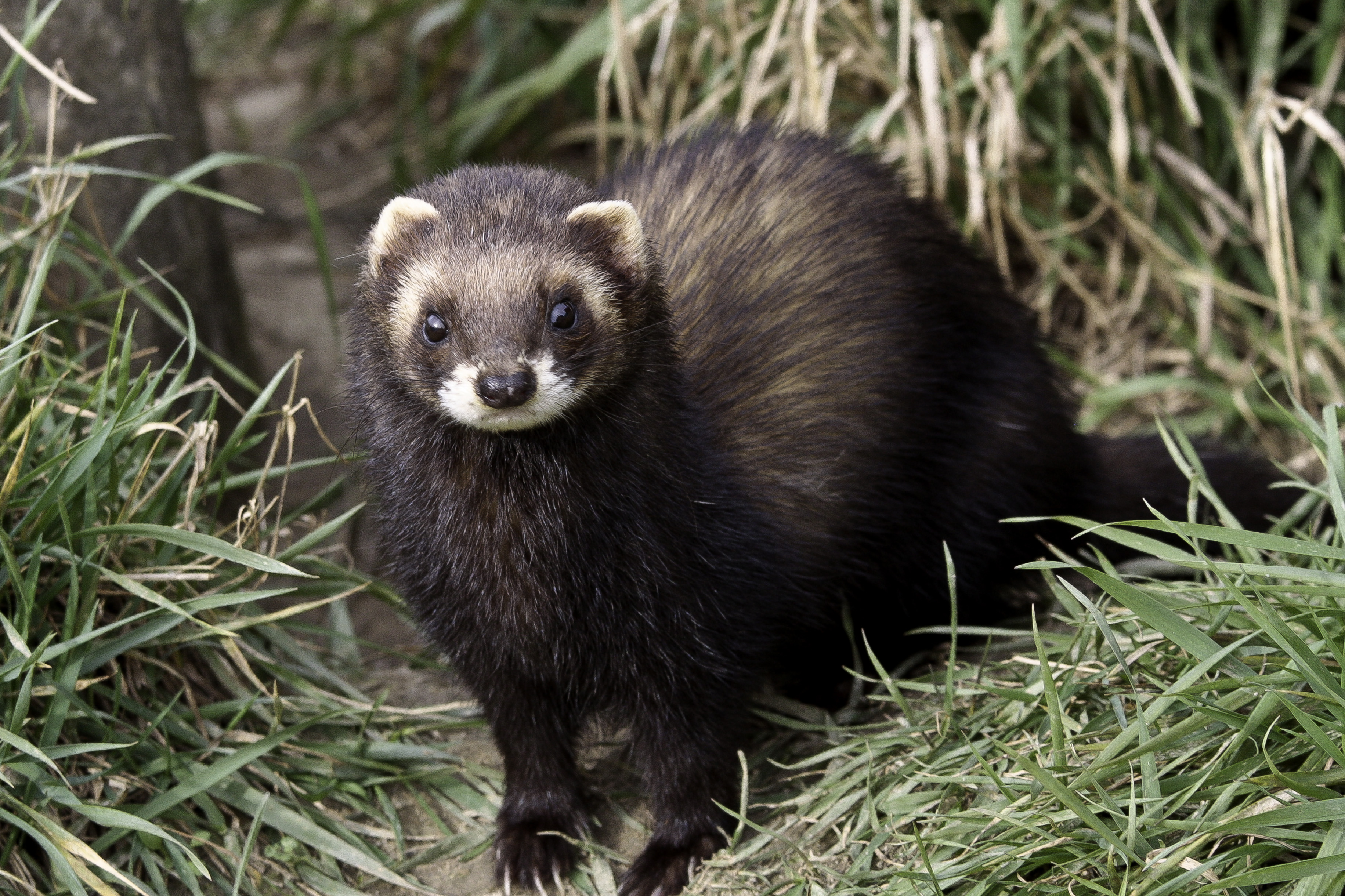 Phd Student Blog In Search Of Polecats The Vincent